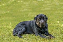 Ajuste do cão preto de Lebra no gramado da grama verde fotografia de stock