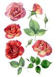 Ajuste do vermelho da aquarela - rosas amarelas ilustração stock