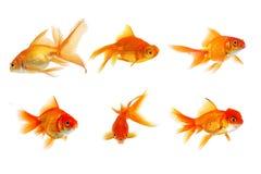 Ajuste dos peixes dourados isolados em um fundo branco fotos de stock