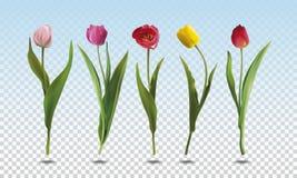 Ajuste flores da tulipa foto de stock