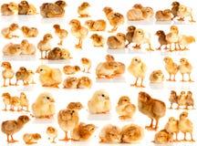 Ajuste a galinha isolada Fotografia de Stock