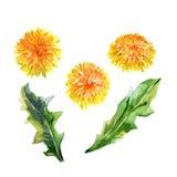 Ajuste plantas Dentes-de-leão amarelos watercolor Imagens de Stock Royalty Free