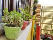 Ajwain plant royalty free stock image