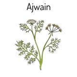 Ajwain trachyspermum ammi , or ajowan caraway, bishop weed, carom - spice herb Stock Photo