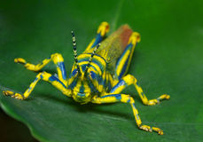 Ak Grasshopper(Poekilocerus pictus) Close-up Royalty Free Stock Photos