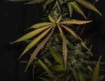 AK-47 rozmaitość medyczna marihuana z kolorem leafs Fotografia Royalty Free