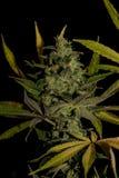 AK-47 rozmaitość medyczna marihuana z kolorem leafs Fotografia Stock