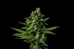 AK-47 variety of medical marijuana Royalty Free Stock Image