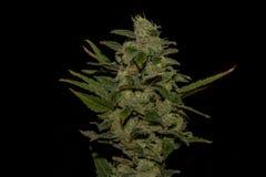 AK-47 variety of medical marijuana Stock Photos