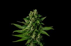 AK-47 variety of medical marijuana Stock Images