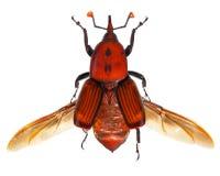 aka亚洲印第安掌上型计算机红色rpw象鼻虫 免版税库存照片