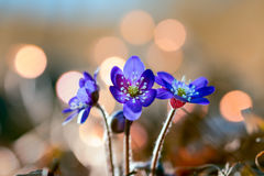 Aka hepatica Anemone liverwort Στοκ φωτογραφία με δικαίωμα ελεύθερης χρήσης