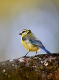 AKA PARUS MAJOR - YELLOW SPARROW Stock Photo