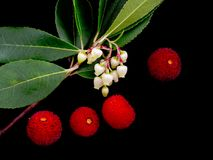 Wild Arbutus unedo - flowers and fruit on black. Aka Strawberry. Aka Strawberry tree. Native to the Mediterranean region and western Europe north to western Royalty Free Stock Photo