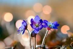 Aka van anemoonhepatica liverwort Royalty-vrije Stock Foto