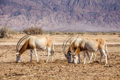 Aka van kromzwaardoryx Sahara Oryx, een bedreigd dier in het 'hooi-Bar 'Yotvata-Natuurreservaat stock foto's