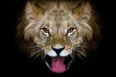 akaci kryjówek lwa osamotniony midday portreta cienia słońce zdjęcie royalty free