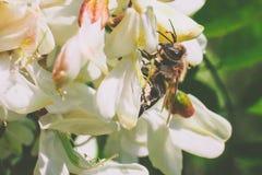 Akaciablomma med biet arkivfoton