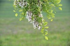 Akaciablommor, vita blommor och gräsplansidor Royaltyfria Foton