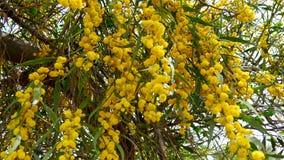 Akaciadealbata som kallas också silverwattle, blå wattle eller mimosa (4K) stock video