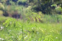 Akaciagrönsaker Asien, akacia lämnar grönsaker, akaciaskogar fotografering för bildbyråer
