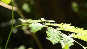 Akacian satta framåt sidaknoppen följer från vindslag i trädgård arkivfilmer