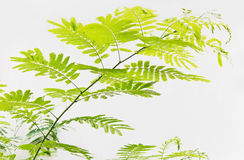 Akaciaträd Arkivfoto