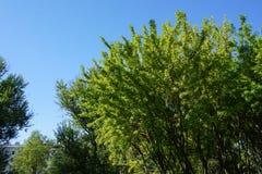 Akaciaträd Arkivfoton