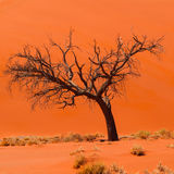 Akaciaträd framme av dyn 45 i den Namid öknen arkivbilder