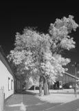 Akaciaträd i infrarött ljus Royaltyfria Foton