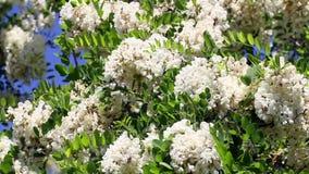 Akaciaträdet och bin stänger sig upp lager videofilmer