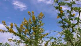 AkaciaVachellia Karroo eller växande blommor för söt tagg på träd på bakgrund för blå himmel i Afrika stock video