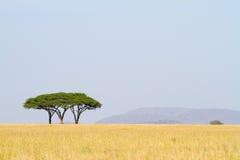 akacj drzewa trzy obraz stock