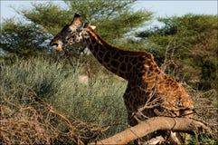 akacja je żyrafy obraz stock
