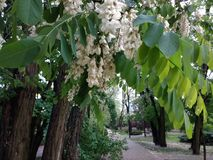 Akacja kwitnie kwiatu drzewa wiosnę zdjęcia stock