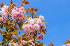 Akacja kwitnie kwitnienie w wio?nie zdjęcia stock