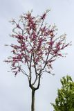 Akacja kwitnie kwitnienie w wio?nie zdjęcie stock
