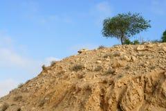 Akacja, powszechnie znać jako akacje w pustynnym Negew lub wattles, zdjęcie royalty free