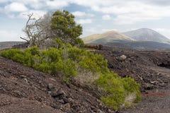 Akacja w powulkanicznym krajobrazie, Lanzarote, Hiszpania fotografia stock