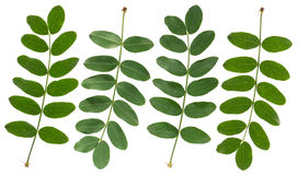 Akacja zieleni Liść Obraz Stock
