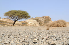 akacjowa pustynia umbellate arabska Obraz Royalty Free