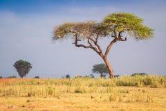 Akacjowi drzewa na sawannie, Afryka Wschodnia Obraz Royalty Free