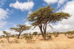 Akacjowi drzewa podczas pory suchej w Etiopia obraz stock