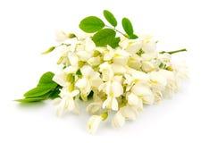 Akacjowi kwiaty fotografia royalty free