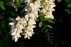 Akacjowi kwiaty obraz stock
