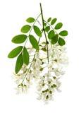 Akacjowi kwiaty zdjęcie stock
