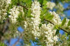 Akacjowi kwiaty Obraz Royalty Free