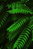 akacjowi zielone liście tło Zdjęcia Royalty Free
