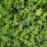 akacjowi zielone liście tło Zdjęcie Royalty Free