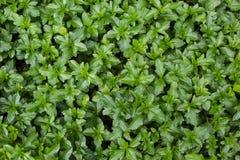 akacjowi zielone liście tło Obrazy Stock